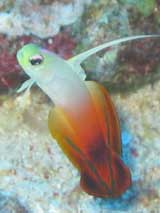 PNG Fire Goby