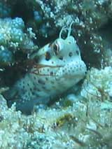 PNG Freckle Face Blenny