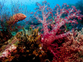 Coral reef - Lissenung Island Resort - PNG Dive Resorts