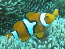 Melanesian Percula Clown fish
