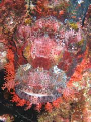 PNG Scorpion Fish
