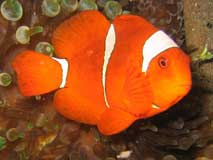 PNG Spine Cheek Clown Fish