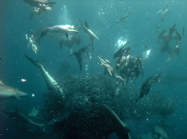 Sardine Run - Dive Discovery South Africa