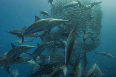 Africa - Sardine Run: see our 2013 new dates and rates, very affordable!  The greatest shoal on earth!