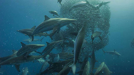 Sardine Run in South Africa