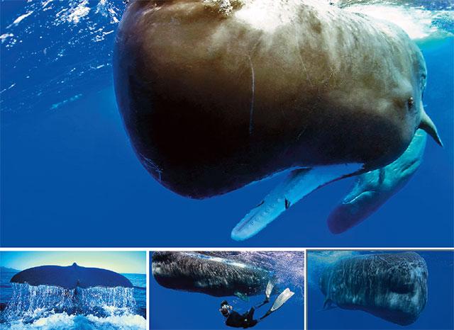 Sperm whales in antarctica