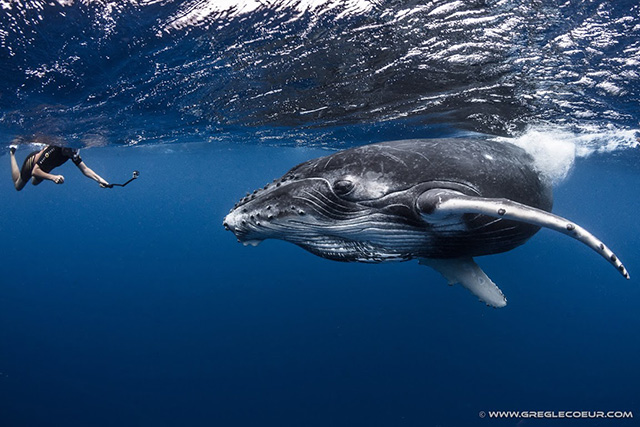Swim with Humpback whales - Scuba Dive Tahiti ~ Swim with Whales, September 13 - 29 2019 Group Trip