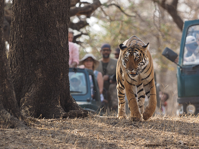 Tiger Safari, Highlights of Rajasthan