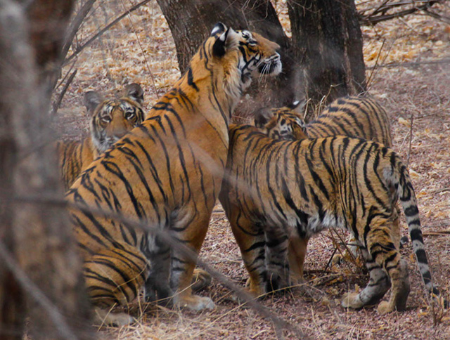 Tigers of Rajasthan
