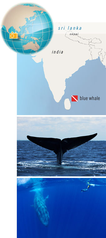 Trinco Blue Whale, Sri Lanka - Big Animals Expeditions with Amos Nachoum  - Dive Discovery