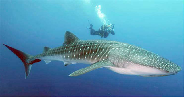 Whale Shark Tours - Isla Mujeres, Mexico - Dive Discovery